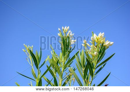 Nerium Oleander In The Blue Sky