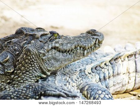 A big crocodile on zoo, dangerous animal.