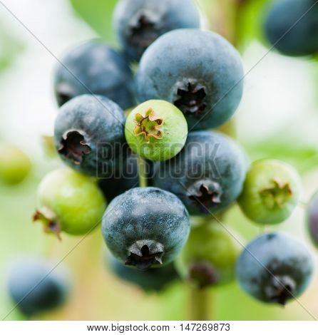 Fresh Blue And Green Blueberries In Nature Outdoors