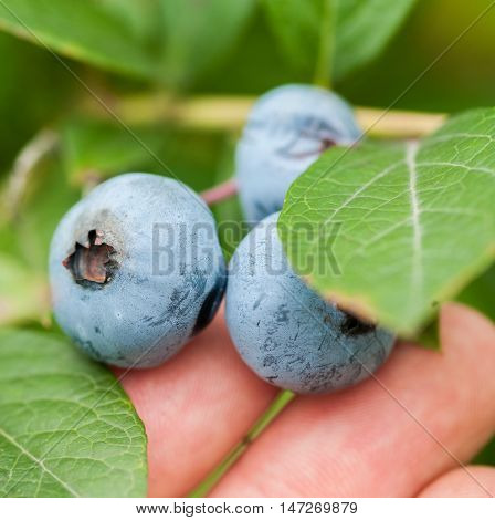 Fresh Blueberries In Nature Outdoors