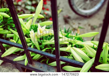 Mandona lilly flower on the fence in flower market