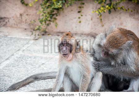 mother monkey to scratch his baby finding louse. soft focus at eye of monkey baby