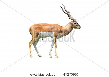 Thomson's gazelle by horn isolated white background
