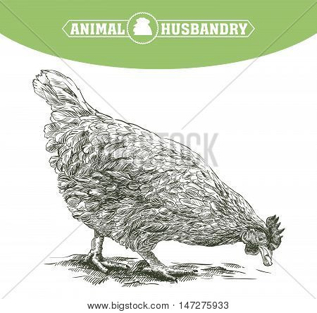sketch of chicken drawn by hand. poultry breeding. livestock