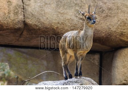 VALENCIA, SPAIN - MARCH 21, 2015: Dik-dik in an animal-friendly zoo in Valencia Spain