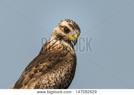 Juvenile White Eyed Buzzard perched for portrait. Portrait of Buzzard