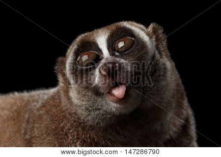 Close-up Face of Cute Lemur Slow Loris Looking up with opened mouth Isolated Black background poster