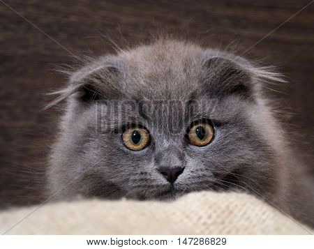Excellent kitten looks out of plaid. Huge eyes. Grey Cat Fluffy Fold. Owlish