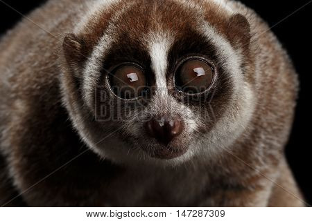 Close-up Face of Cute Lemur Slow Loris Stare Isolated Black background