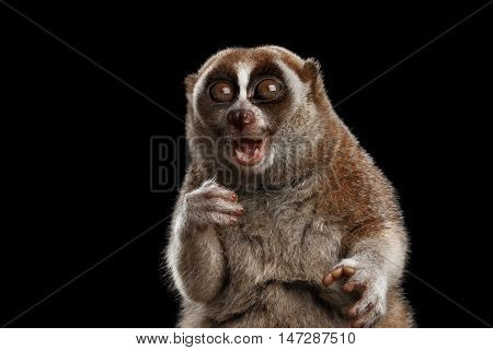 Close-up Face of Cute Lemur Slow Loris Sitting and Stare with opened mouth Funny Animal Isolated Black background