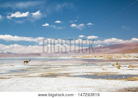 Vicugna walking near Aguas Termales de Polques in mountains of Bolivia