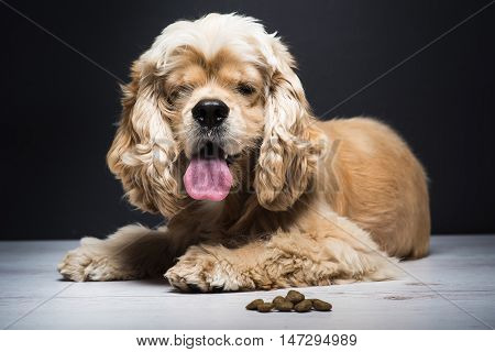 Dog on a white wooden floor. American cocker spaniel lying and looking at the camera with interest. Young purebred Cocker Spaniel. Dark background. Dog food on the floor.