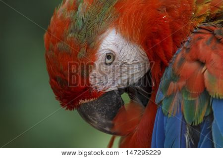 Scarlet Macaw. Bird preening feathers. Closeup bird portrait.