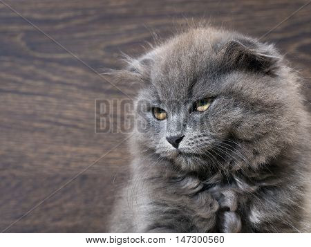 Portrait of a great evil kitten. Grey Cat Fluffy Fold. The nose is black. Background wooden board