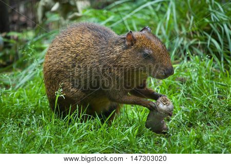 Central American agouti (Dasyprocta punctata). Wildlife animal.
