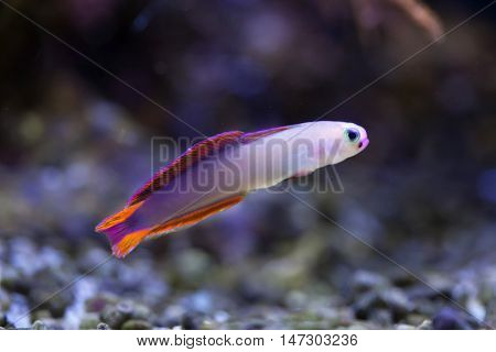 Elegant firefish (Nemateleotris decora), also known as the purple firefish. Sea life.