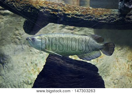 Gulf saratoga (Scleropages jardinii), also known as the Australian bonytongue. Wildlife animal.
