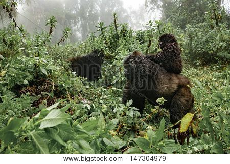 Profile of female mountain gorilla with baby over the back. Rwanda