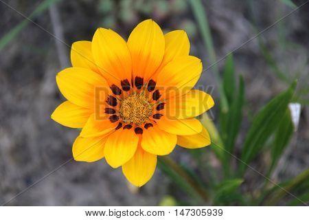 Gazania flower or treasure flowers in the summer garden