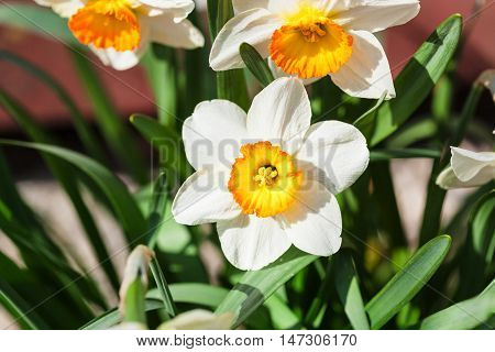 Narcissus Tazetta Cultivar Flowers On Flowerbed