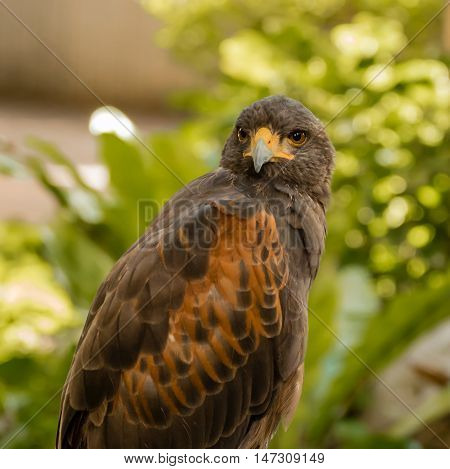 portrait of a hawk in the park