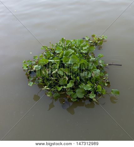 Water Hyacinth Floating On The River. (water Hyacinth)