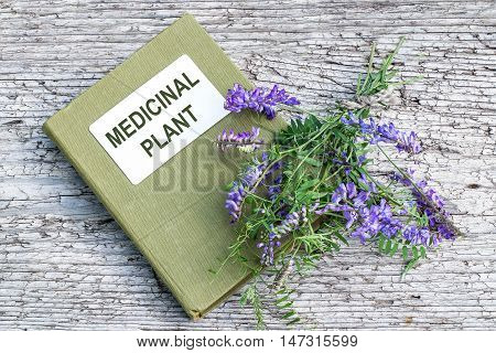 Medicinal plant Vicia cracca (tufted vetch cow vetch bird vetch blue vetch boreal vetch) and herbalist handbook on old wooden table. It is used in herbal medicine livestock feed good honey plant