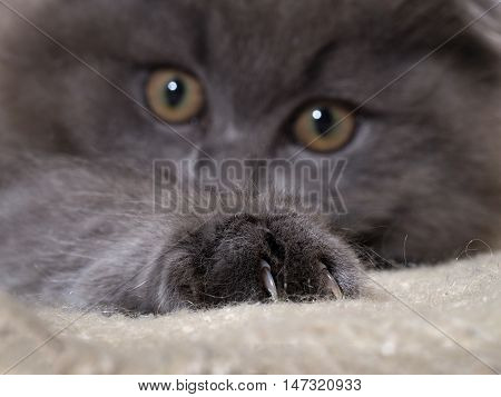Cat paw with claws. The fur is gray fluffy