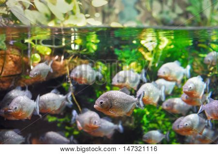 Lots of piranha fish in the water