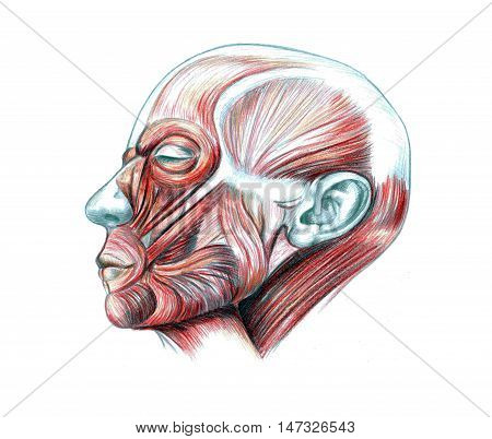 Hand drawn medical illustration drawing with imitation of lithography: Muscles of head