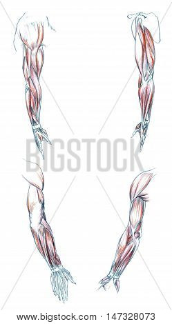 Hand drawn medical illustration drawing with imitation of lithography: Muscles of Arm