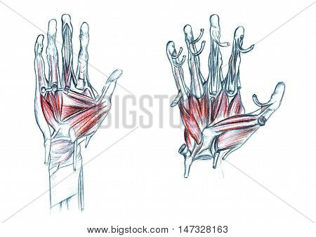 Hand drawn medical illustration drawing with imitation of lithography: Muscles of hand