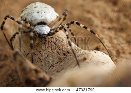 Closeup Spider-patisson (argiope lobata) on snag. soft focus shallow DOF.
