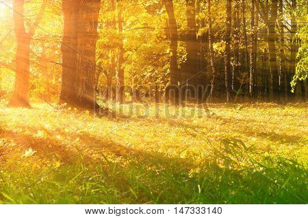 Autumn picturesque forest in early autumn with fallen dry autumn leaves and rays of sun.Sunset autumn view of yellowed autumn forest.Autumn landscape with yellowed autumn trees.Colorful autumn nature.