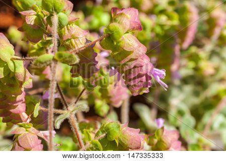 Origanum Dictamnus Dittany of Crete Herb Close-Up