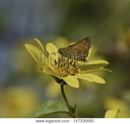 A Broad-Winged Skipper (Poanes viator) on a yellow flower in late summer in New Freedom Pennsylvania, USA.