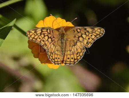 A Variegated Fritillary (Euptoieta Claudia) feeding on a yellow zinnia in late summer in New Freedom, York County, Pennsylvania, USA.