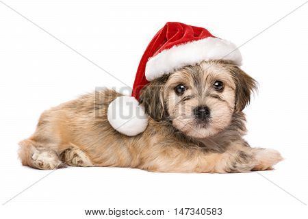 Cute lying Bichon Havanese puppy dog in a Christmas hat looking at camera - Isolated on a white background