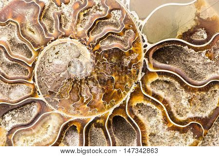 Spiral Ammonite fossil , closeup macro background