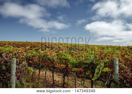 Colorful vineyard in autumn in Napa Valley on sunny day. Vibrant multi-colored grape vines at harvest time in Napa California. Blue skies and white puffy clouds.