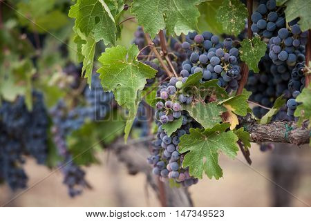 Purple clusters of Cabernet Sauvignon grapes in Napa Valley California vineyard. Shallow depth of field of Napa wine grapes hanging from a vine. Saturated purple and blue hues of the grapes during veraison.
