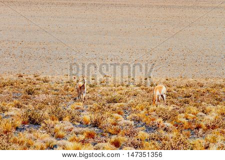 Two Vicunas In The Andes, Catamarca, Argentina
