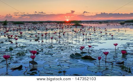 The sea of red lotus Lake Nong Harn Udon Thani province Thailand