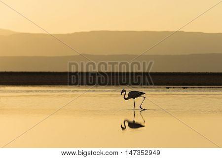 Flamingo Silhouette at Sunset in Atacama Salar, Chile / Silhouette of Flamingo in a salt lake at Sunset in Atacama Salar, Chile