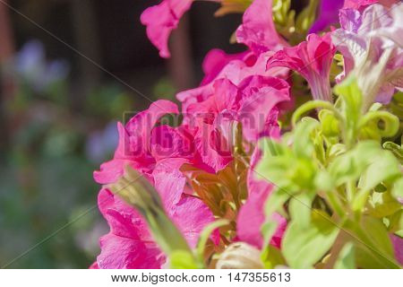 Side view close up of saturated pink Impatiens flowers