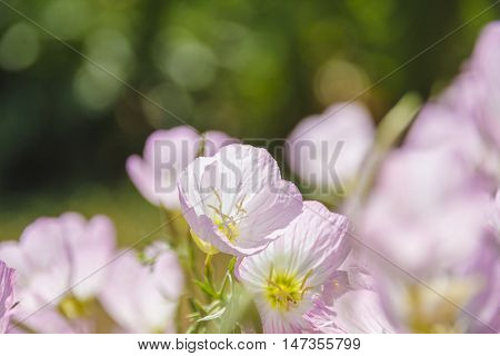Light pink flower with thin almost transparency - light yellow pollen