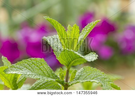 Fresh Mint plant with detailed leaves and jagged edges against purple
