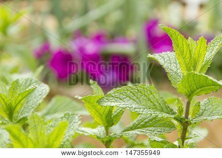 Mint plant with detailed leaves and jagged edges against purple