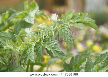 Tomato plant leaf detail with yellow fowers in background