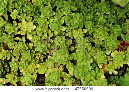 Sedum stonecrop close up view. A lot of small green leaves on the ground cushion.